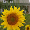 Bobi Murray, Chanhassen, MN<br /> 2007 Traverse City Friendly Garden Tour<br /> Sunflower at the farm<br /> Canon 20D