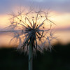 <b>Submitted By:</b> Norma Pszczolkowski <b>From:</b> Traverse City <b>Description:</b> An East Bay sunset can make even the dandelions look amazing.