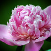 This Peony was one my neighbor Mary transplanted from her mothers garden. <br /> By Peggy Zinn
