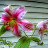 <b>Submitted By:</b> Paul J Nepote <b>From:</b> Traverse City, Michigan <b>Description:</b> Some kind of Lilly from my front yard. Photo taken in Traverse City.