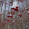 <b>Submitted By:</b> Melissa Kegg <b>From:</b> Cincinnati, OH <b>Description:</b> Berries with snow. Acme, Michigan.