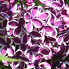 A Special Lilac.<br /> <br /> New type has been created.<br /> <br /> John Novosad<br /> Houghton Lake.
