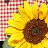 <b>Submitted By:</b> Melissa Kegg <b>From:</b> Cincinnati, OH <b>Description:</b> Sunflower at Elk Rapids Farmers' Market.  Summer 2009.