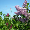 <b>Submitted By:</b> Margaret Pierson <b>From:</b> Traverse City <b>Description:</b> Kites and Lilacs, Mackinac Island Lilac Festival, 2007 (Taken Near the Library)