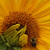 <b>Submitted By:</b> Mark Lindsay <b>From:</b> Kingsley <b>Description:</b> Bee on a sunflower