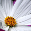 <b>Submitted By:</b> Susan Niles <b>From:</b> Traverse City, MI <b>Description:</b> Macro photo of a Cosmos in my garden