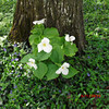 <b>Submitted By:</b> Christy Crawford <b>From:</b> Lake Ann <b>Description:</b> Trilliums near our house.