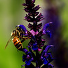 <b>Submitted By:</b> Randal Scot Hart <b>From:</b> traverse city <b>Description:</b> bee on flower...