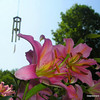 <b>Submitted By:</b> Rick Desrochers <b>From:</b> Orlando <b>Description:</b> Picture I took in the Early morning at my in-laws house in Empire. Picture with the stargazer lily and the chimes in the background as the sun is coming up.