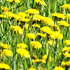 Yellow Field Flower.<br /> Some make wine from the leaves. Even a salad.<br /> <br /> John Novosad<br /> Houghton Lake.