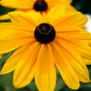 Bobi Murray, Chanhassen, MN, 2007<br /> Black Eyed Susan<br /> Traverse City Friendly Garden Tour<br /> Canon 20 D