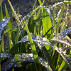<b>Submitted By:</b> Gerald Martineau <b>From:</b> Arlington, VA <b>Description:</b> Ice droplets glisten on garden foliage in the early morning sun from overnight watering at The Highlander assisted living facility on Boardman Lake.