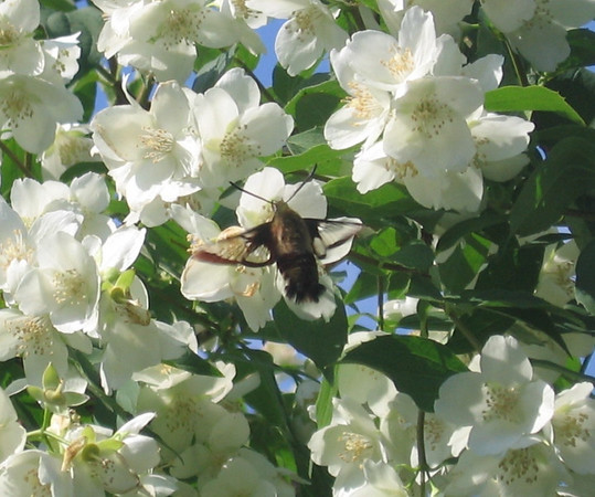 C.D. Dahlquist<br /> Kingsley, MI<br /> <br /> Hummingbird moth on Mock Orange blossoms in my garden.  Spring, 2007.