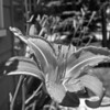 <b>Submitted By:</b> Jason Rehahn <b>From:</b> Traverse City <b>Description:</b> First Day Lily. 6-13-2010