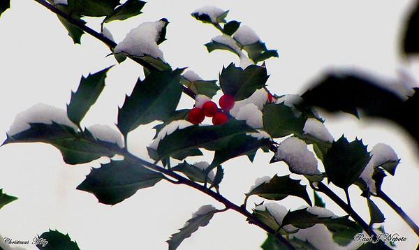 Christmas Holly<br /> Paul Nepote<br /> Traverse City, Michigan<br /> Canon SX10 IS
