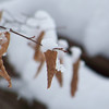 <b>Submitted By:</b> Sam Surgalski <b>From:</b> Traverse City <b>Description:</b> A snow-covered leaf, taken in December.
