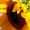"<b>Submitted By:</b> Susan Niles <b>From:</b> Traverse City, MI <b>Description:</b> ""Feeling the Sun"" Sunflower taken near Traverse City, MI"