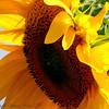 "<b>Submitted By:</b> Susan Niles <b>From:</b> Traverse City, MI <b>Description:</b> ""Feeling the Sun"" Sunflower taken near Traverse City, MI"
