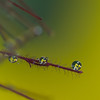 <b>Submitted By:</b> laura lavrack <b>From:</b> Lake Ann <b>Description:</b> The dewdrops sitting on our smoke bush blossoms became tiny lenses through which to view the yellow lilies beyond. Lake Ann, July 16, 2011.