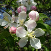 Cindy Reno, Kingsley<br /> This is a picture of our apple tree blossom in our back yard on may 23, 2009