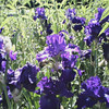 <b>Submitted By:</b> Ellen Mooney <b>From:</b> Kingsley, Mi <b>Description:</b> Spring Iris in full bloom taken in Custer, Mi 6/09