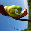 <b>Submitted By:</b> Jacqueline Nutting <b>From:</b> Traverse City (on Spring Lake) <b>Description:</b> Bloom from a Pitcher Plant (carnivorous plant that eats insecrts, spiders and an occasional frog) taken on Spring Lake.