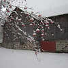 <b>Submitted By:</b> Sylvia Kievit <b>From:</b> Suttons Bay <b>Description:</b> Beautiful Centennial Barn with touch of Mountain Ash