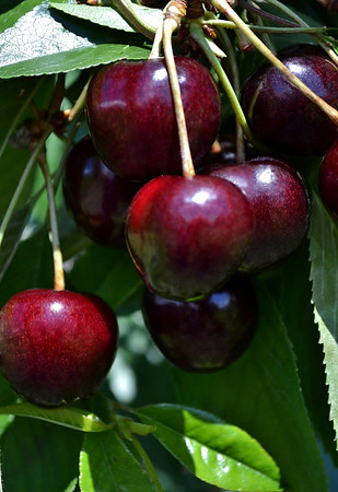<b>Submitted By:</b> Myongsoon Cho <b>From:</b> Traverse City <b>Description:</b> Sweet Cherry. Taken July, 2011 at Lake Leelanau,Michigan