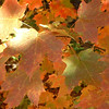 <b>Submitted By:</b> Brandon Glowacki <b>From:</b> Traverse City <b>Description:</b> Maple leaves