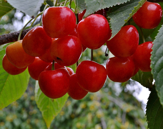 <b>Submitted By:</b> Myongsoon Cho <b>From:</b> Traverse City <b>Description:</b> Sweet Cherry. Photo taken July7,2011 at Lake Leelanau