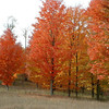 <b>Submitted By:</b> Brandon Glowacki <b>From:</b> Traverse City <b>Description:</b> Maple trees