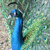 <b>Submitted By:</b> Sharon Compton Baatz <b>From:</b> Maple City <b>Description:</b> My male Peacock back in 2007