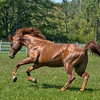 <b>Submitted By:</b> laura lavrack <b>From:</b> Lake Ann <b>Description:</b> A young Arabian stallion feeling his oats at a friend's farm.
