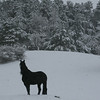<b>Submitted By:</b> Susan Rehmann <b>From:</b> Traverse City <b>Description:</b> Friesian Horse on a winter day.