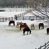 "<b>Submitted By:</b> Julie A. Dickson <b>From:</b> Gaylord, MI <b>Description:</b> Horses grazing. ""It's under here somewhere"" Taken on Hayes Tower Road in Otsego County"