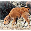 <b>Submitted By:</b> Susan Niles <b>From:</b> Traverse City, MI <b>Description:</b> Photo taken at Oleson's Buffalo Ranch, Traverse City, MI