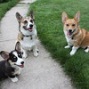<b>Submitted By:</b> Lisa Harris <b>From:</b> Traverse City <b>Description:</b> a trio of corgis