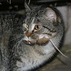 <b>Submitted By:</b> Susan Rehmann <b>From:</b> Traverse City <b>Description:</b> Taken on the Rehmann Farm in Traverse city. The Barn Cat and his with his catch.