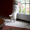 Lilly, a Westie, looking out a window at our home in Traverse City, MI.<br /> <br /> Photography by Danielle Bielski <br /> Traverse City, MI