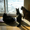 Dusty, Ziggy & Buffy waiting for a squirrel.  <br /> <br /> Submitted by:<br /> MaryAnn Pierce<br /> TC MI