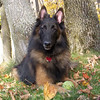 """Captain"" taking a break from playing fetch<br /> at our home near Empire in fall '08<br /> Mark Miller"