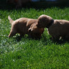 Sean Finnegan<br /> Traverse City <br /> <br /> This picture is the last of 4 and was also taken in Bellaire... Two of<br /> the 5 week old pups playing in the yard...