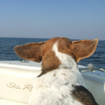 <b>Submitted By:</b> Cindy Anderson <b>From:</b> Traverse City <b>Description:</b> Maggie's enjoying her ride to Poverty Island with the help from Captain Barry!