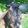 This is Captain. He's a four year old Belgian Tervuren that loves the water. <br /> This photo was taken at our home near Empire in the summer of 2007.<br /> My name is Mark Miller.