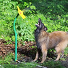 "This is ""Captain"", our 4 year old Belgian Tervuren, who loves playing in the <br /> sprinkler near Empire.   Mark Miller"