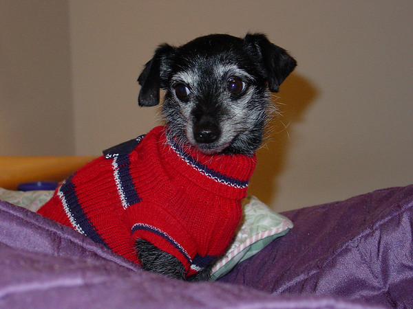 <b>Submitted By:</b> Joanne Myers <b>From:</b> Traverse City <b>Description:</b> Petie Thompson wearing his Christmas sweater.