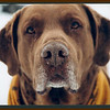 <b>Submitted By:</b> MOLLY CARROLL SHUGART <b>From:</b> TRAVERSE CITY <b>Description:</b> OUR DOG BOO, CHESAPEAKE BAY. BEST DOG WE EVER HAD.