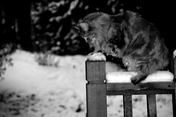 <b>Submitted By:</b> Claire Podges <b>From:</b> Traverse City <b>Description:</b> This is my 2 year old cat Pippin frolicking in the fresh snow. This was taken on my deck overlooking a Traverse City forest