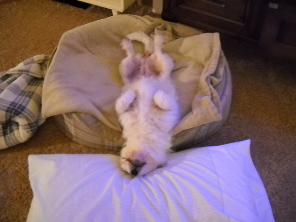 <b>Submitted By:</b> sandra gavaldon <b>From:</b> traverse city mi <b>Description:</b> This is our dog, Kelli, at home just one week after being adopted from a rescue group. She is approximately 8 years old and is wonderful. Sound asleep and happy.