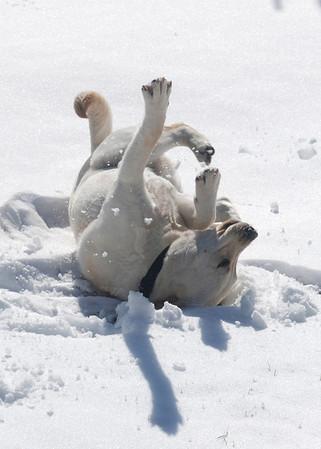 <b>Submitted By:</b> Dan Erickson <b>From:</b> Traverse City <b>Description:</b> I think Buddy enjoys winter.